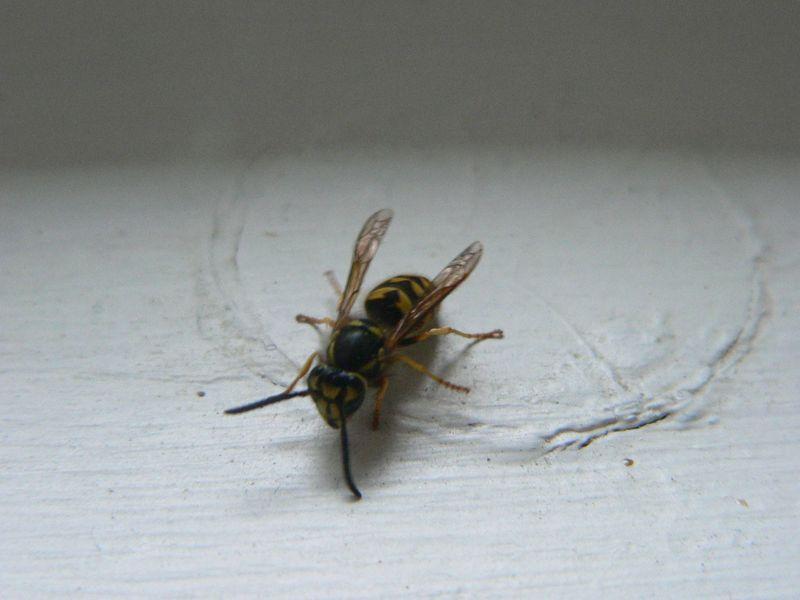 Wasp 030